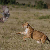 Lion Flushing Guinea Fowl
